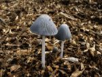 Coprinopsis cinerea by Oniroid