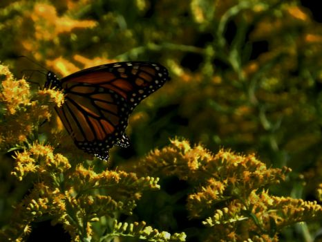Butterfly With Goldenrod Flowers by Matthew-Beziat