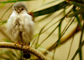 Pygmy Falcon by Dignifiedsoul