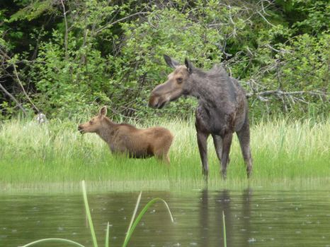 moose with baby moose by minamiko