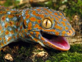 Tokay gecko stock by A68Stock