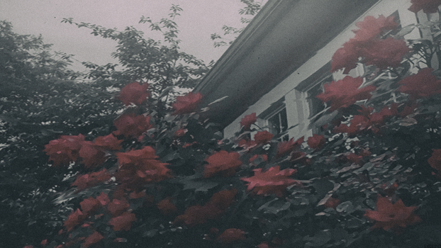 Red Roses - Edit by TheSkyFx