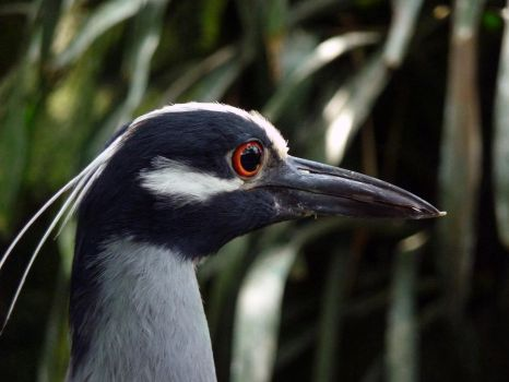 Yellow-crowned Night Heron by ceemdee