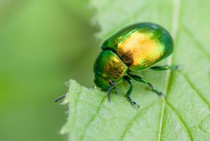 Green Jewel Beetle by Quit007