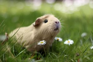 Guinea pig in nature by lieveheersbeestje