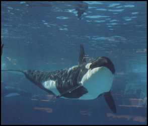 Killer Whale 0013 by JS-Creations