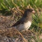 Junco 002 by Elluka-brendmer