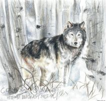 A Grey Wolf in a Forest by AugustAnna