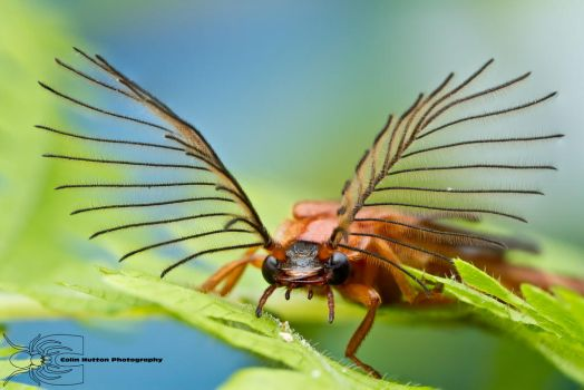 Glowworm - Phengodes sp. by ColinHuttonPhoto