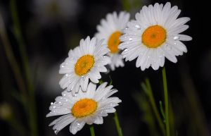 Flowers After the Rain by Darkness-in-the-lens