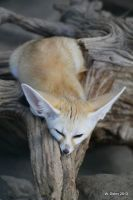 Fennec Fox by lenslady