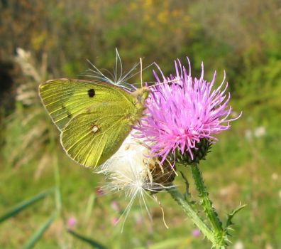 Clouded Yellow butterfly by silycat3