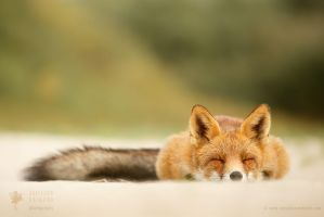 Sleepy Fox is Sleepy.... by thrumyeye