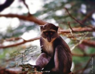 Guenon. by Phototubby