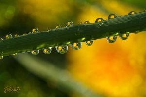 Buttercup reflection in raindrops II by AStoKo