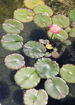 Hawaiian Waterlily - stock by The-Tinidril