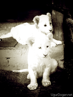 White Baby Lions by Mottcalem