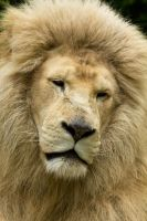 d1211 - White Lion by Jay-Co