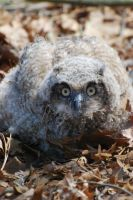 Baby Owl by SS-Snowy