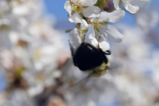 2018 Spring First Sighting,Bee and Blossoms Hover7 by Miss-Tbones