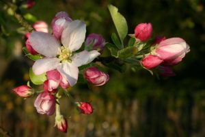 Apple Blossoms by wiebkerost