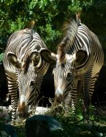 Grevy's Zebra No. 1 STOCK by slephoto