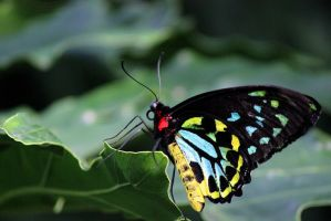 Cairns Birdwing. by sweatangel