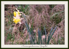 Jonquille - Daffodil that heralds spring by Feelin3