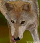 Wolf Sequence 004 Detail1 by furocious-studios