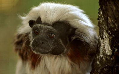 Tamarin Monkey by Dark-wind-Wings