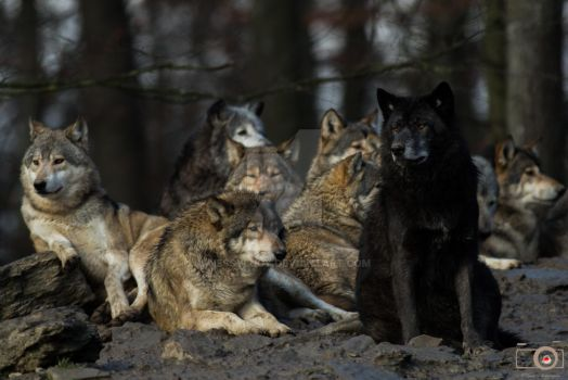 wolves 12