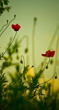 poppies by BreakmyBones
