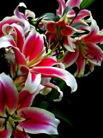 Lily Burst by LCArtDesign