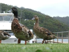 Ducks 1 by chickitty-stock