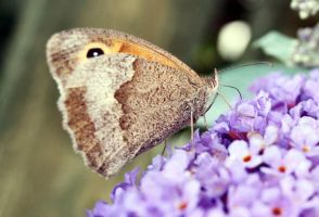 Meadow Brown Feeding by moonhare77