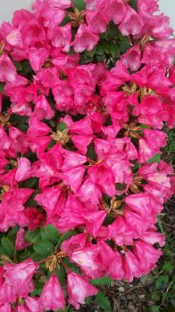 Rhododendrons by ThereIsNoStringsOnMe