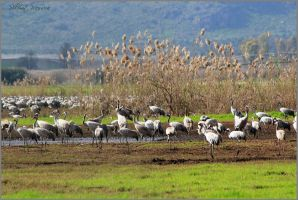 A field of cranes 2 by ShlomitMessica