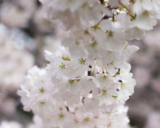 White Cherry Blossoms by acidaperture