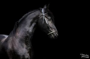 Friesian by fotovesp