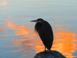 Orange Sunset Sea Heron by wolfwings1