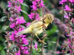 Chiffchaff on Purple Loosestrife by SaraBimboSlut