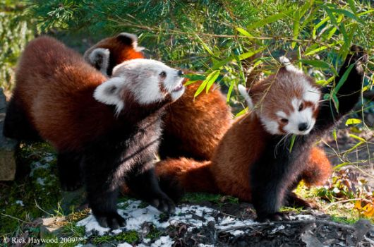 Red Panda Family 157-95 by Haywood-Photography