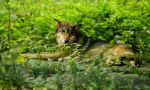 Eastern Wolf by Lionpelt-66