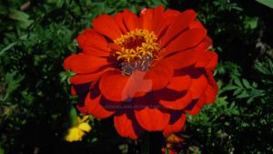 Strong Red Flower by SergioLang