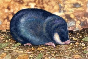 Cape Golden Mole by WillemSvdMerwe