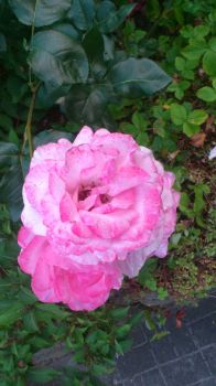 light red rose from the garden by tigerhawkfurrylover