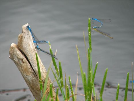 Dragonflies Mating by zombieguy