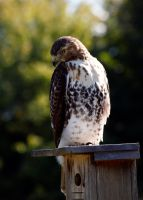 Red Tail by El-Sharra