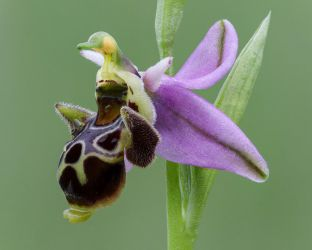 Ophrys scolopax by rajaced