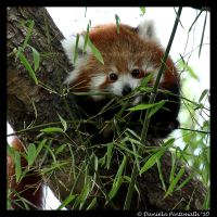 Baby Red Panda by TVD-Photography